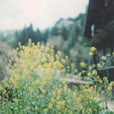 旧田山小学校にて。菜の花。